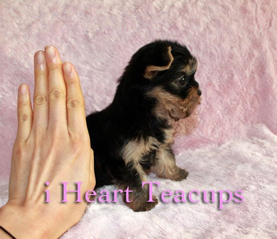 Tiny Teacup Yorkshire Terrier Lillys Photos Cutest Puppy For Sale