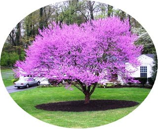 Redbud The Trees Of Inly