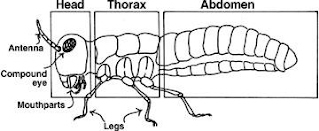 Insect Anatomy 101 - Insectsexplained