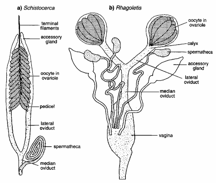 Insect reproduction internal female reproductive system ccuart
