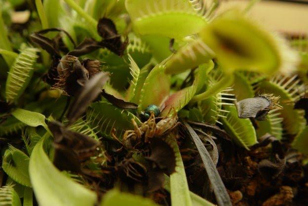 Piantacarnivora internationalbuy for Pianta carnivora dionea