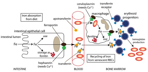 Natural Iron Supplements: Bring Your Hemoglobin and Red Blood Cell ...