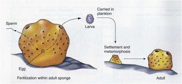 Sponges reproduce asexually by developing larvae meaning