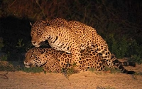 Male Jaguar Mating With A Female