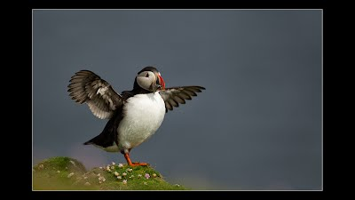 Puffin Flapping it's wings