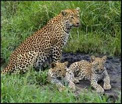Amazing This Is A Picture Of A Mom And Two Cubs.