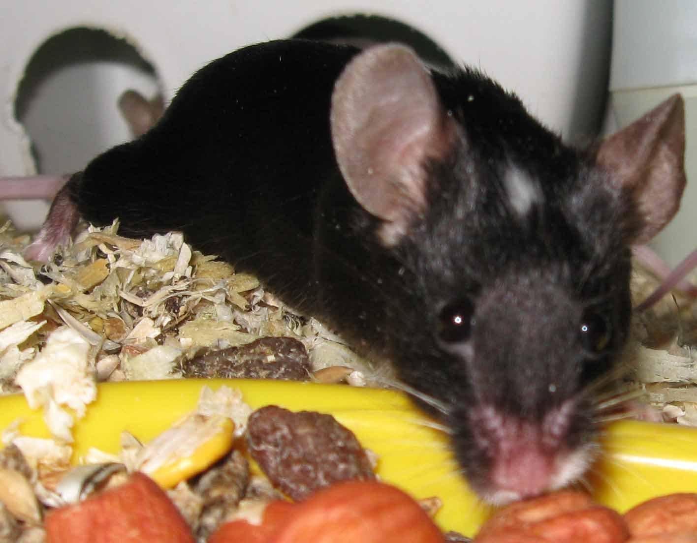Mousecolours Amp Coattypes Jinglesmousery