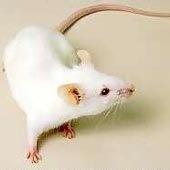 mousecolours coattypes jinglesmousery
