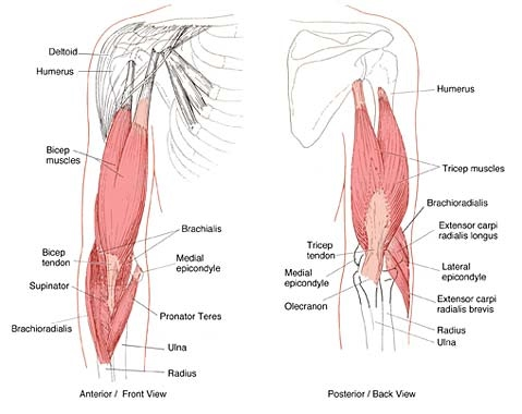 Anatomy of the Elbow - Joint Project