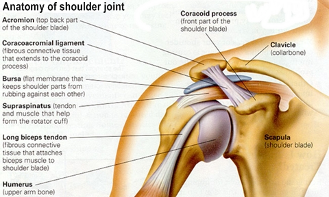 Shoulder Joint - Morgan - Joints-HannaKyleighMorganKaci