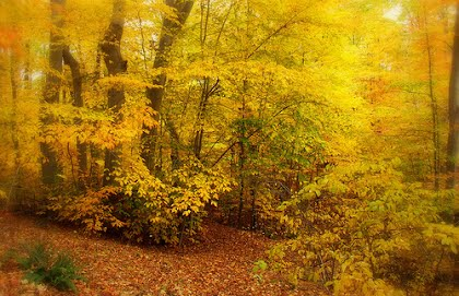 poetry and yellow wood Two roads diverged in a yellow wood, and sorry i could not travel both and be one traveler,  assonance is the repetition of vowel sounds throughout a line.