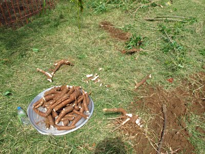 Cassava collected from last year's planting