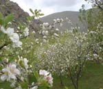 بهار دلنشین در طبیعت همیشه بهار خلخال