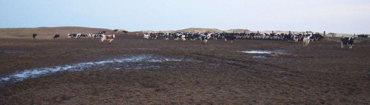 Cattle on Ruined Dunes, Kilmuckridge