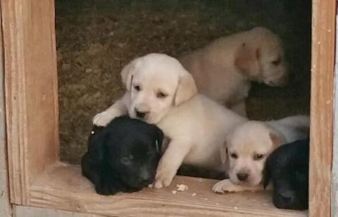 LABS AT HIGH PLAINS BREEDERS