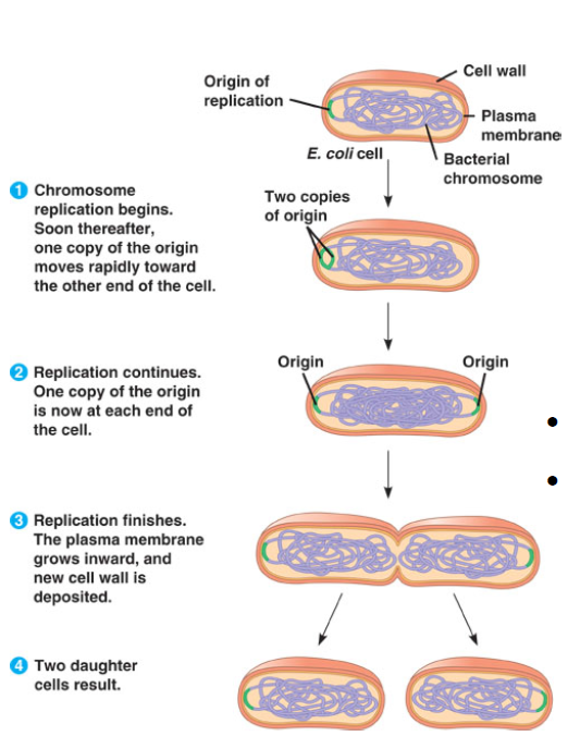 Discuss asexual reproduction in bacteria