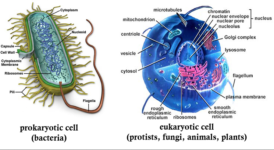 Prokaryotes vs eukaryotes laurel jrsr hs biology objective there are two distinct types of cells prokaryotes and eukaryotes these cells do share some characteristics while also have their differences ccuart Gallery