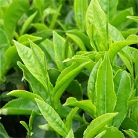 Green coffee bean extract pregnancy image 1