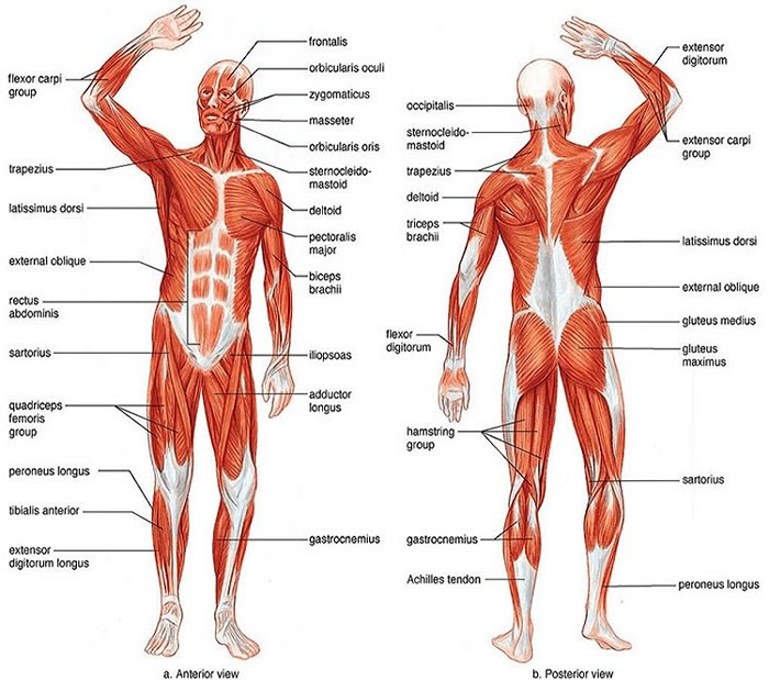 Muscular System - LearnBiology.com