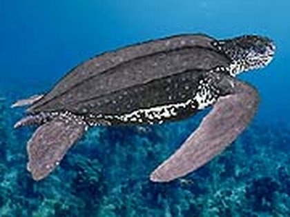 Leatherback sea turtle pictures in the water - photo#16