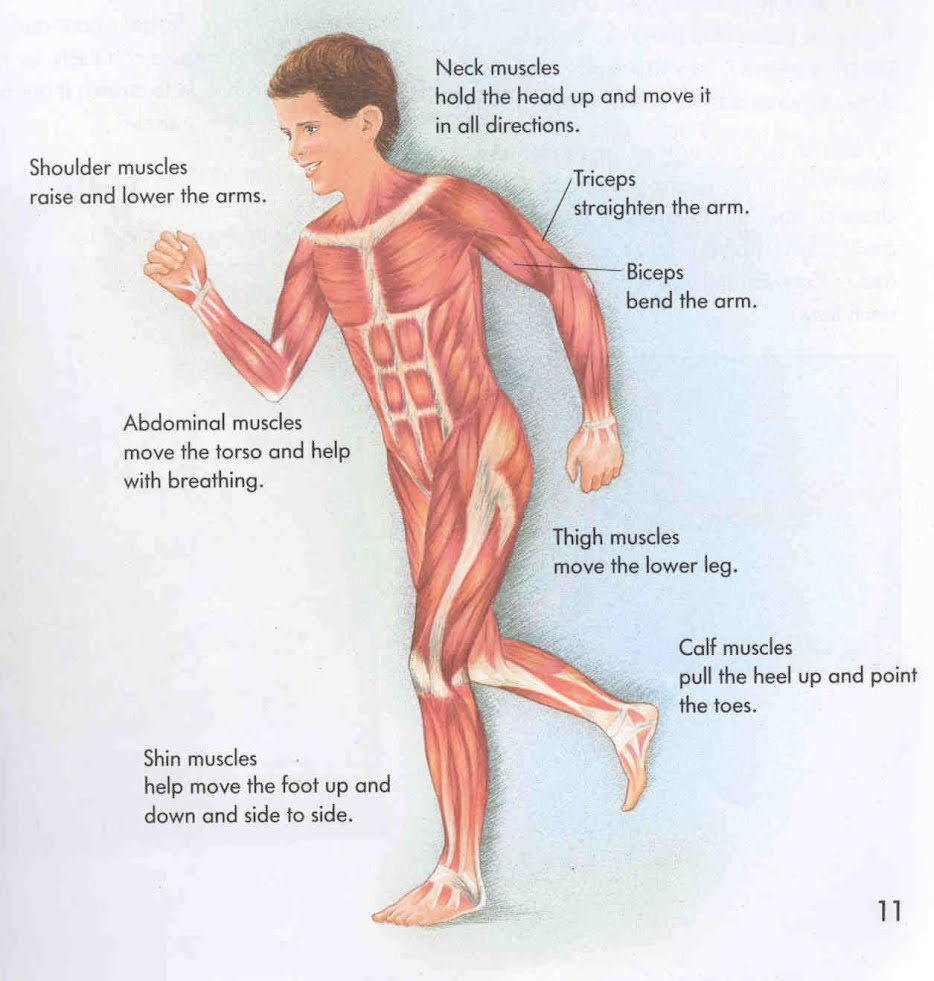 The Muscular System Life Sciences For All