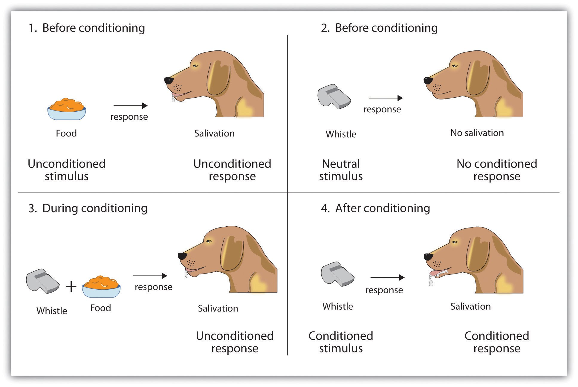 learning classical conditioning Ivan pavlov's research on the digestive system of dogs unexpectedly led to his discovery of the learning process now known as classical conditioning.