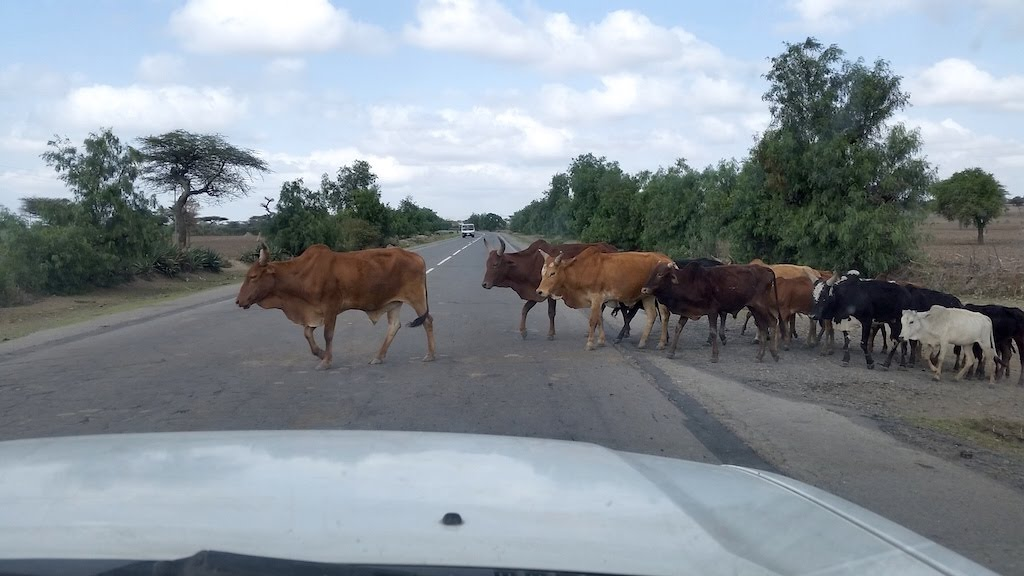 Cattle crossing the smooth road