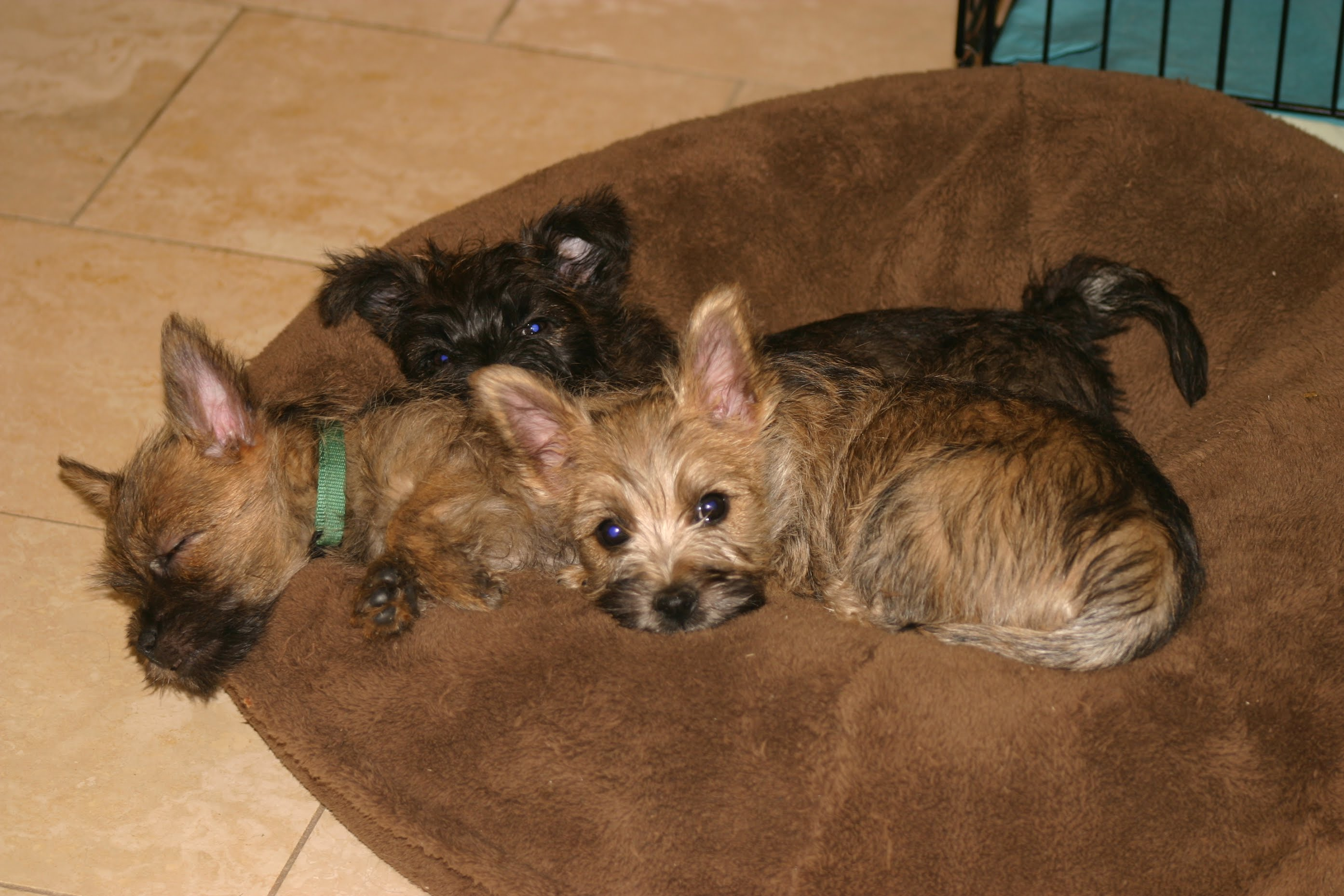 Lords and Ladies Cairn Terriers - East Texas Breeder | Cairn Terrier Pups For Sale Parents