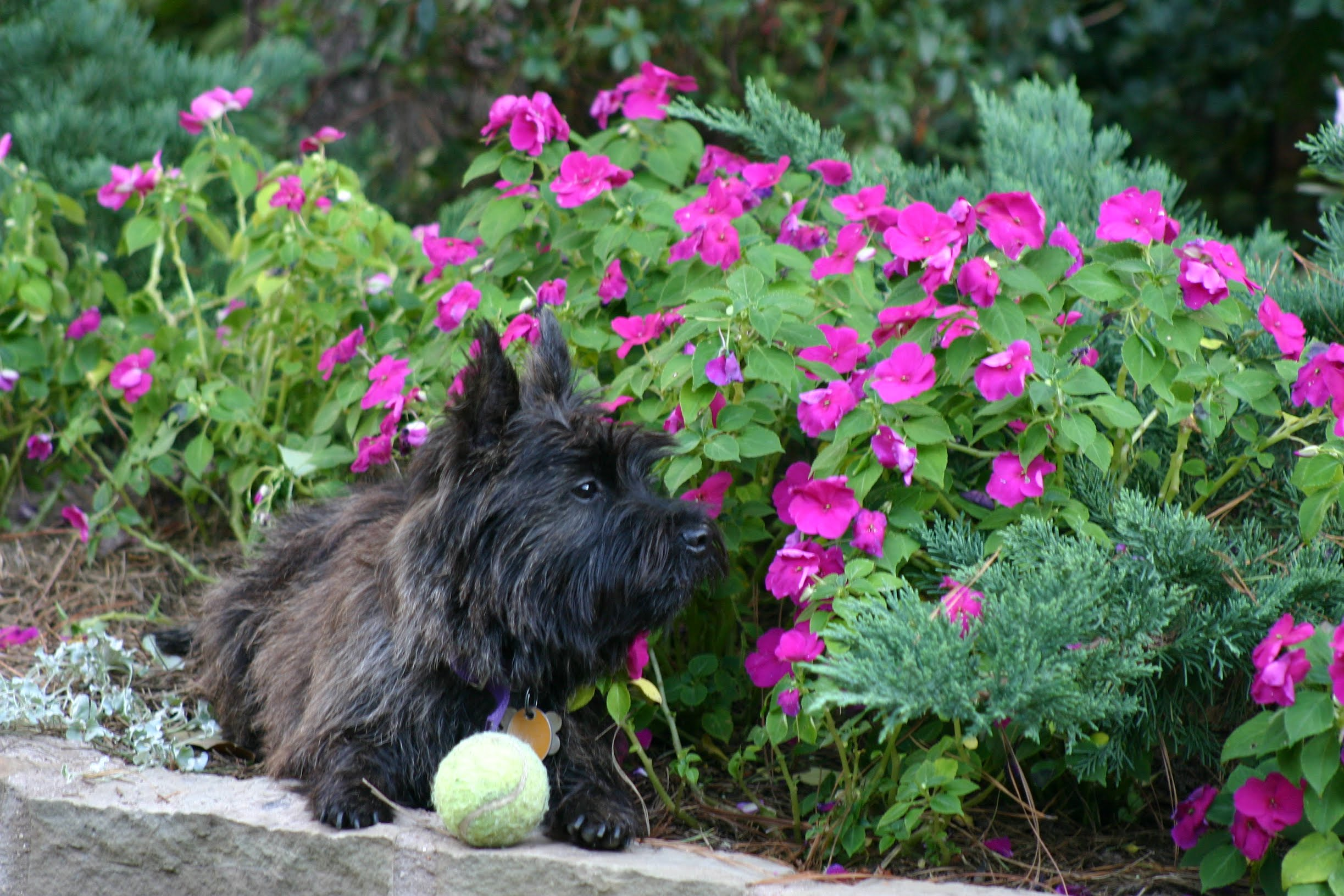 Lords and Ladies Cairn Terriers - East Texas Breeder