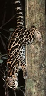 Image result for margay climbing