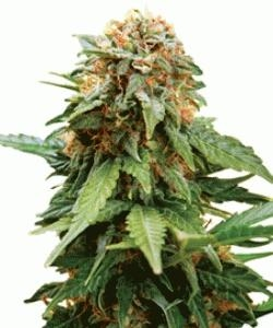 Amnesia Lemon - Mary Jane Strains 420
