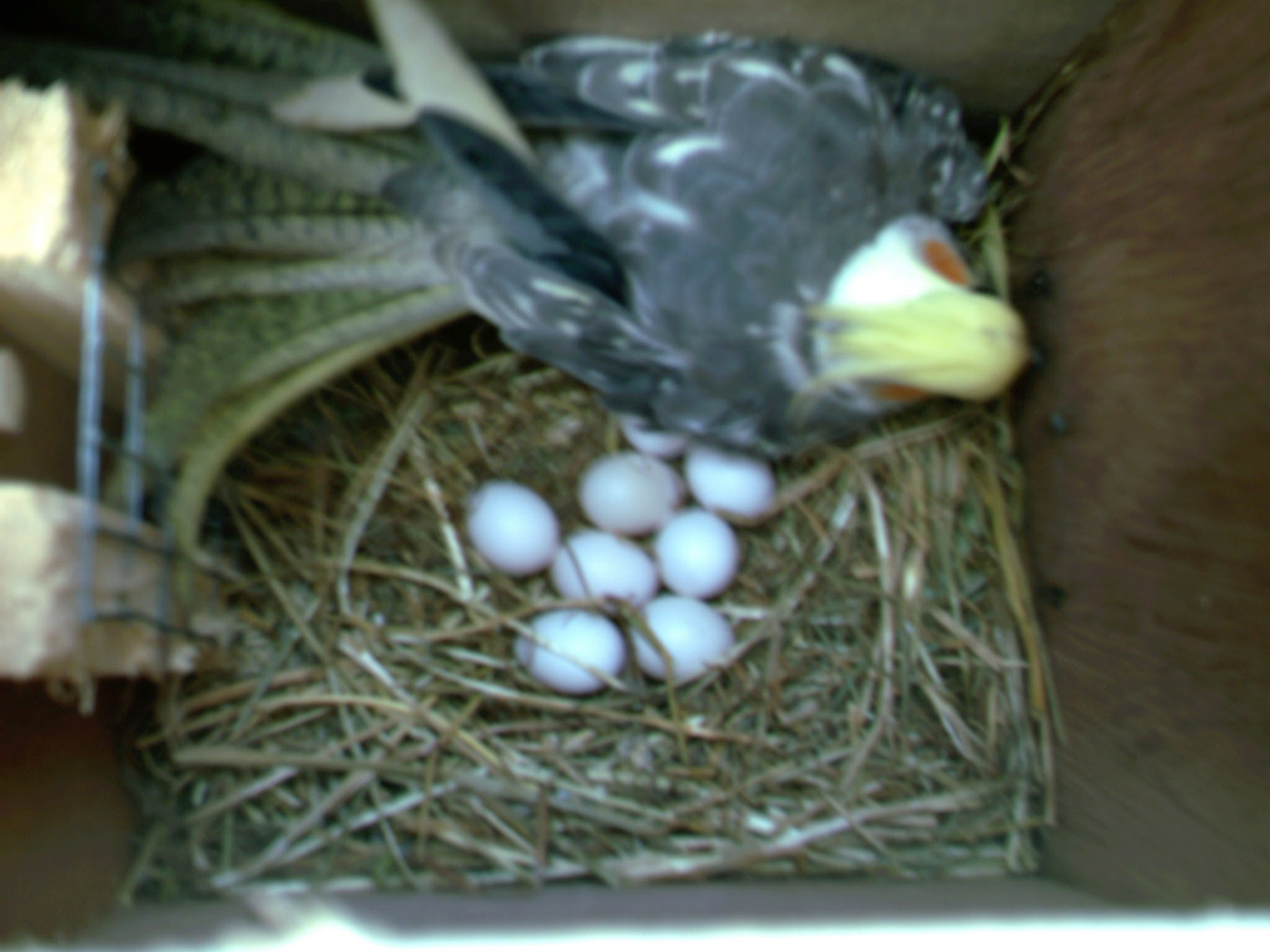 Babybirds Matthewsfamilyparrots