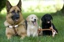 Photo: German Shepherd, Yellow Lab and Black Lab puppies