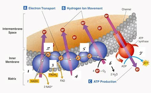 Electron transport chain metabolic processeshersi electron transport chain ccuart