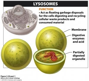 Liable Lysosomes? - Mighty Mitochondria's Opponents