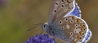 Feeding Habits Mission Blue Butterfly