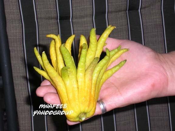 واحد من أقدم أنواع الليمون و الحمضيات ذو الرائحة القوية و المنعشة lemon5.jpg