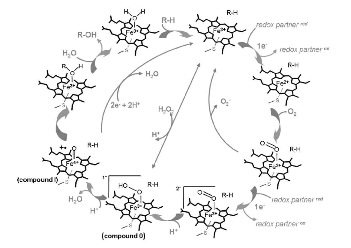 of a P450 catalytic cycle