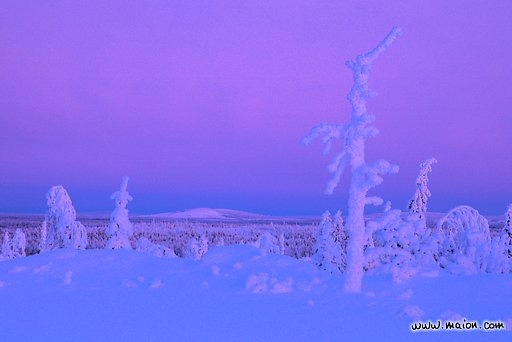 Snow-covered dead tree trunk and lonely fell landscape under a pink sky, Maaninkavaara