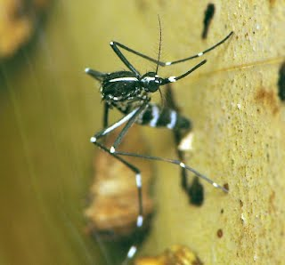Female Asian tiger mosquito laying eggs