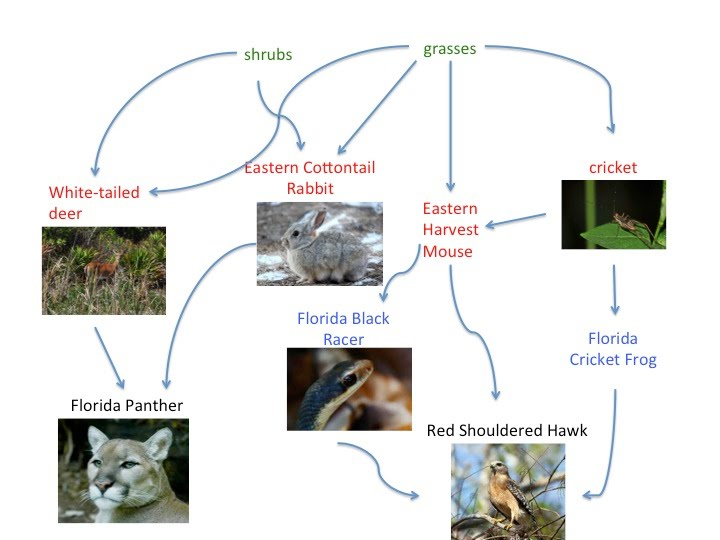 everglade food web diagram The south florida ecosystem  a variety of habitats and food resources for a diversity of animals, serve to hold and stabilize intertidal sediments,.