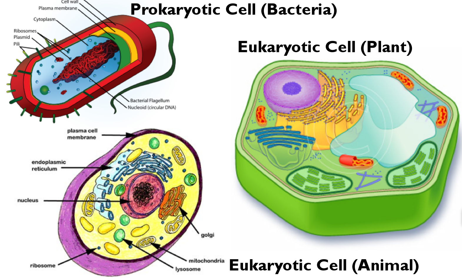 write the differences between prokaryotic an eukaryotic cells and give example for each type of cell