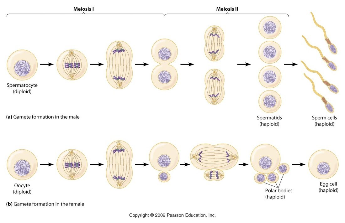 Review Cell cycle, mitosis, cycle regulation, cancer, stem cells ...