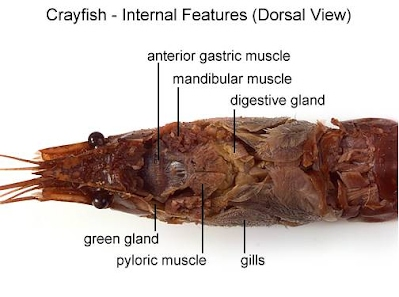 Crayfish dissection internal anatomy mrs castellucci are the organs of the respiratory system a constant flow of blood to the gills releases carbon dioxide and picks up oxygen label the gills and color ccuart Choice Image