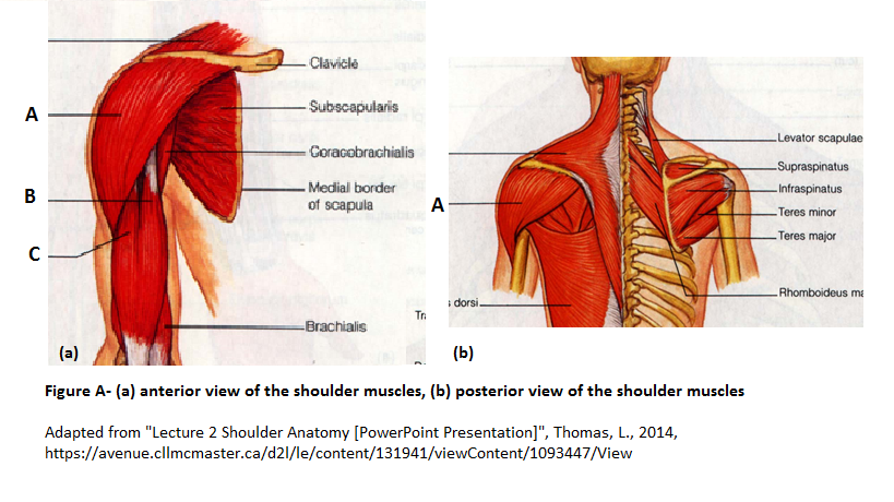 Other Shoulder Muscles - MSK Learning Portfolio- Helen Wismer