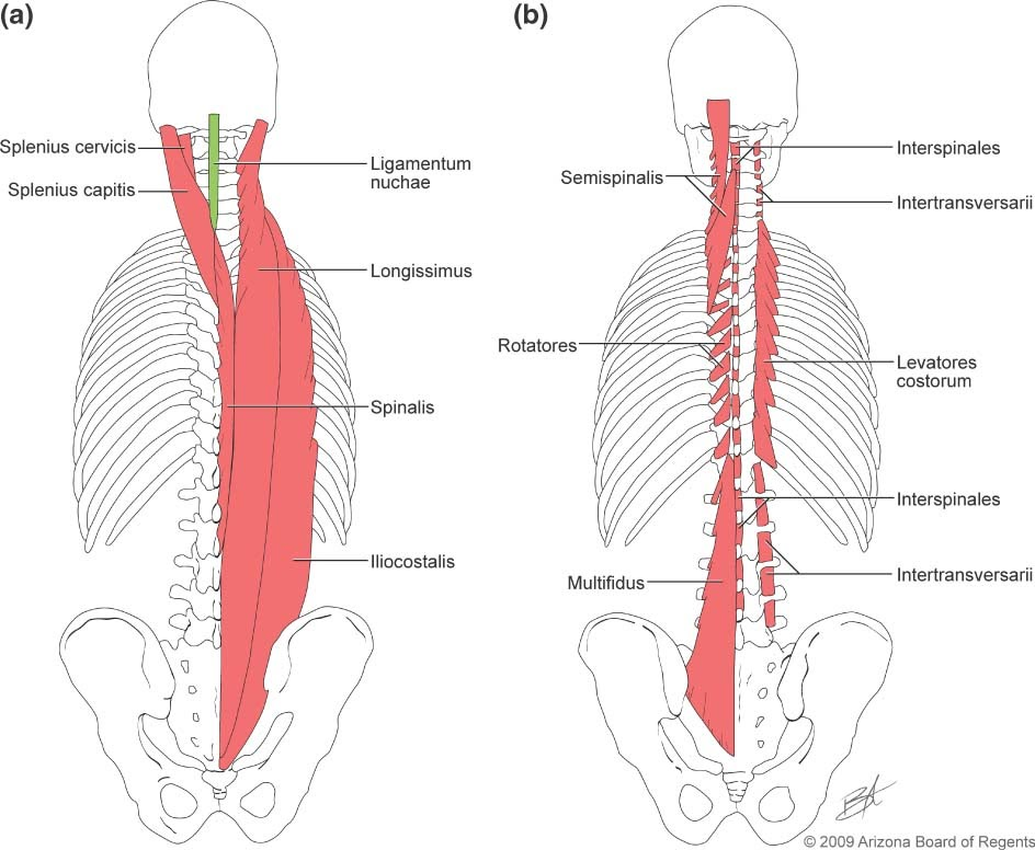 diagram of muscles of the erector spinae muscle group erector spinae rh sites google com Erector Spinae Muscle Diagram erector spinae muscle diagram