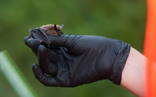 Myotis leibii captured from a bridge in North Carolina