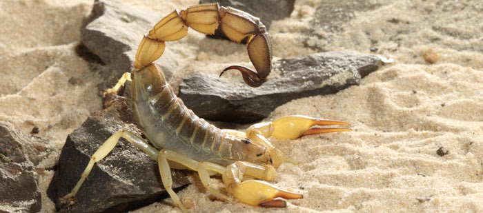 Image result for brazilian yellow scorpion