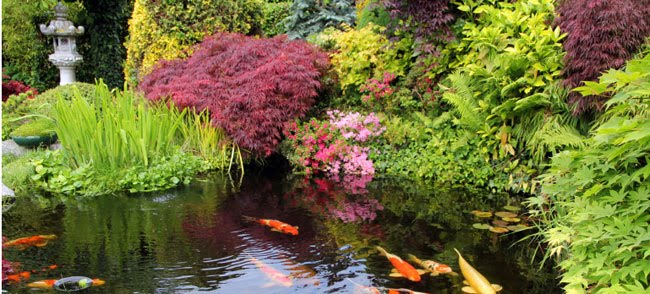 Tips for keeping a clean clear pond natural and organic for Goldfish pond plants