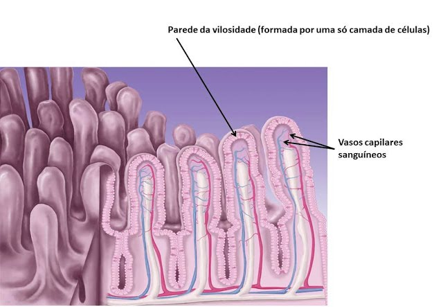 Image result for vilosidades intestinais